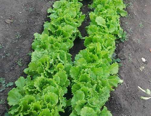 Полукочанный салат