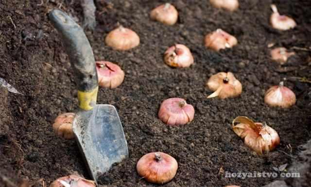 Посадка тюльпанов в саду
