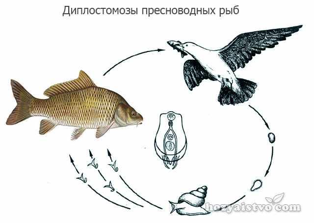 Диплостомозы пресноводных рыб