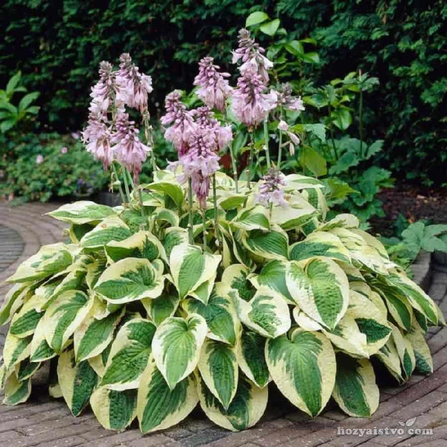 Хоста, многолетнее растение
