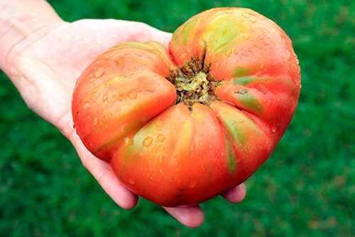 Огромный томат