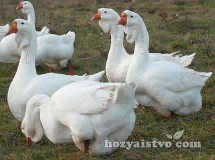 стая_холмогорских_гусей