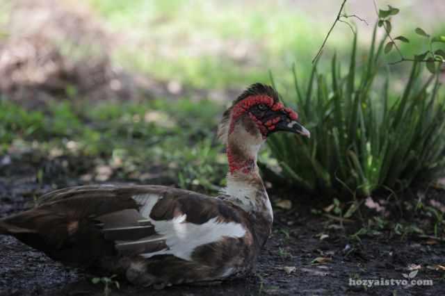 Самец мускусной утки с поднятым гребнем