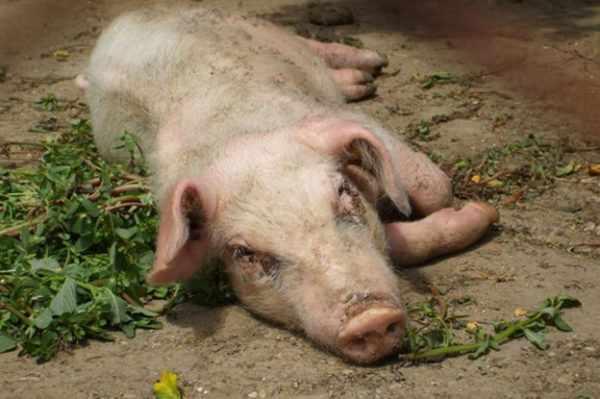 Репродуктивно-респираторный синдром свиней(РРСС)