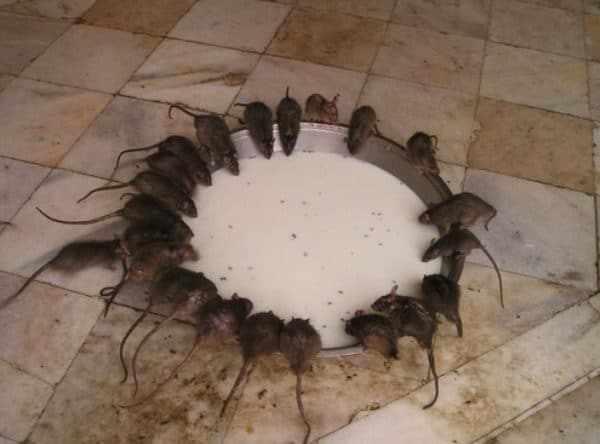 Содержание птиц в курятнике требует особых условий, в которых комфортно чувствуют себя и крысы