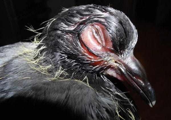 После покупки голубей следует держать отдельно