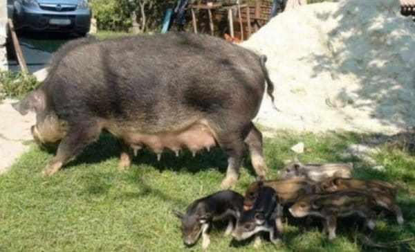 Животные имеют густую шерсть, что позволяет заводчикам держать их в уличном загоне