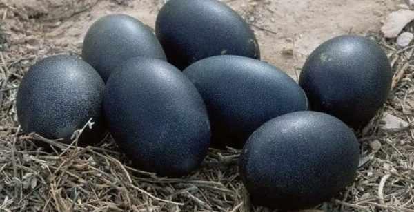 Яйцо Аям цемани