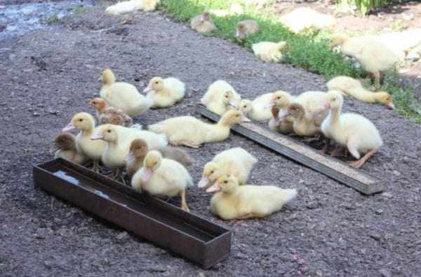 Забирать птенцов из-под матери можно не раньше, чем через 30 минут после появления из яйца