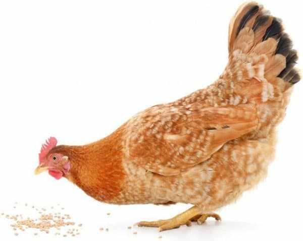 Причин гибели кур, особенно цыплят, много