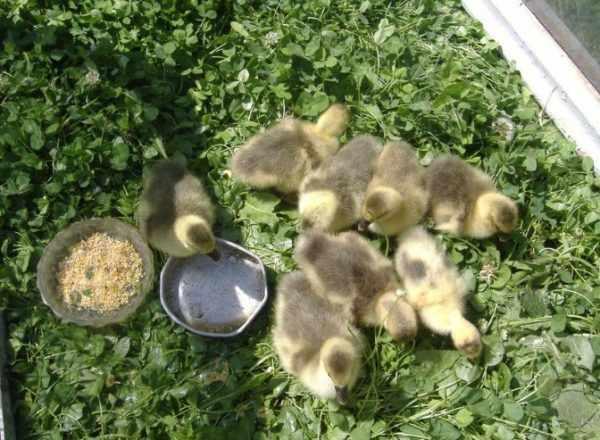 Недельные гусята могут питаться 5-6 раз в сутки