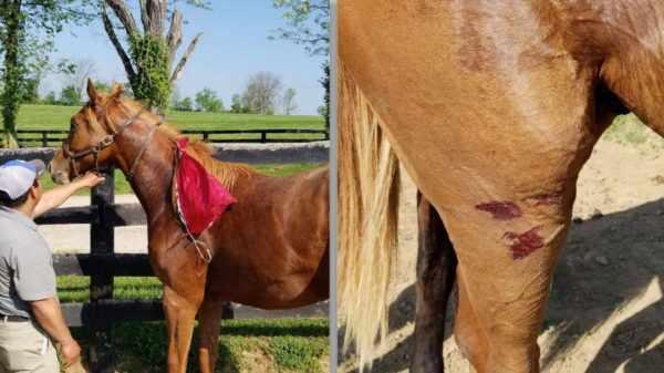 Причины травматизма лошадей и профилактика