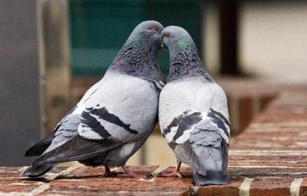 Иногда подобранная пара не хочет контактировать друг с другом, возникает агрессия