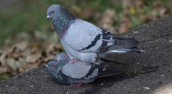 Естественное или натуральное спаривание голубей