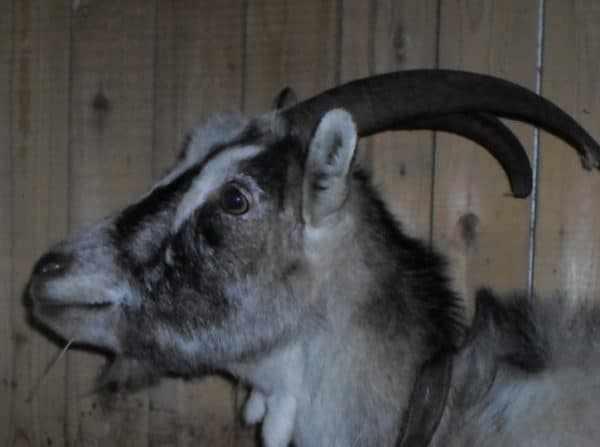 Если по истечении 21 дня самка не просится к козлу – это явный признак вынашивания детенышей