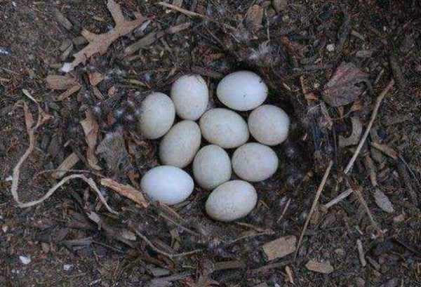Дикая утка дает минимум 3 кладки в год