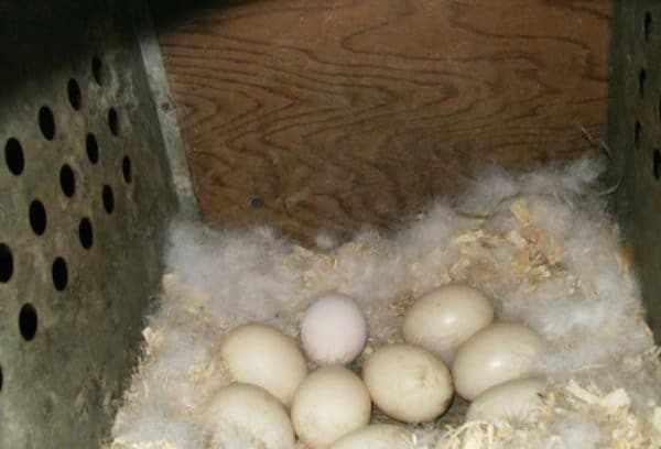 Гнездо мускусной утки