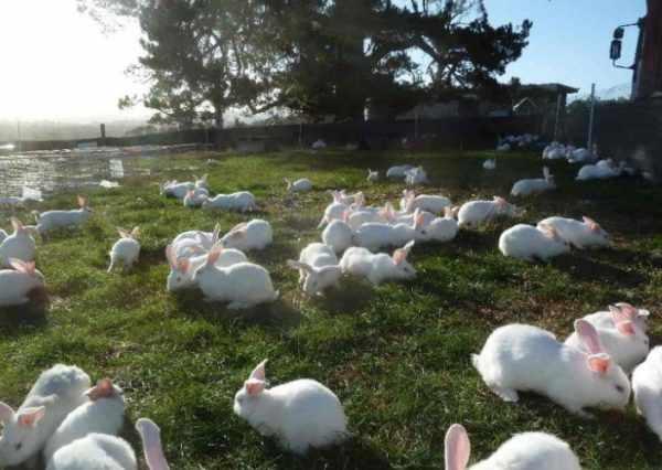Узнать, что крольчиха беременна, на ранних сроках сукрольности бывает затруднительно