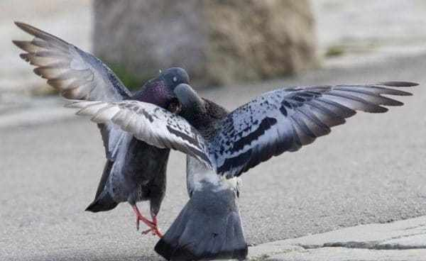 Брачные игры голубей
