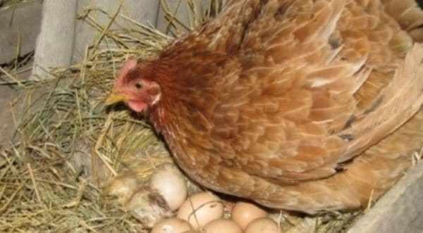 яйцо птицы, принимавшей Энрофлоксацин, непригодно к реализации в течение 11 дней после приема препарата