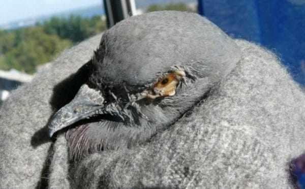 Основной метод диагностики – исследование в лабораторных условиях мазка, взятого из зева голубя