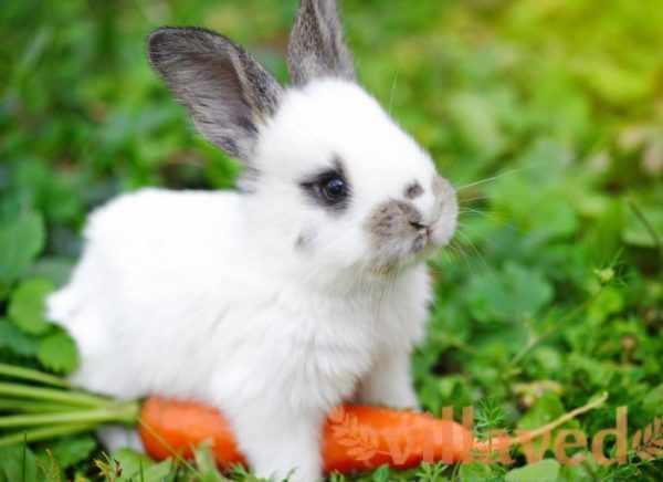 Морковка – любимый корнеплод кролика и не навредит его организму