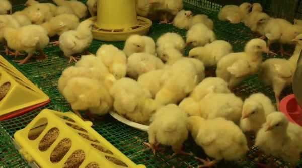 Пятидневные цыплята.