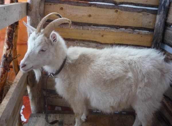 Беременную козу обязательно нужно вычесывать