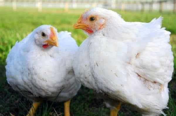 Резкая смена корма может отрицательно сказаться на снижении массы тела птицы