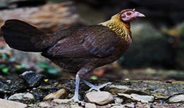 банкивская джунглевая курица (самка)