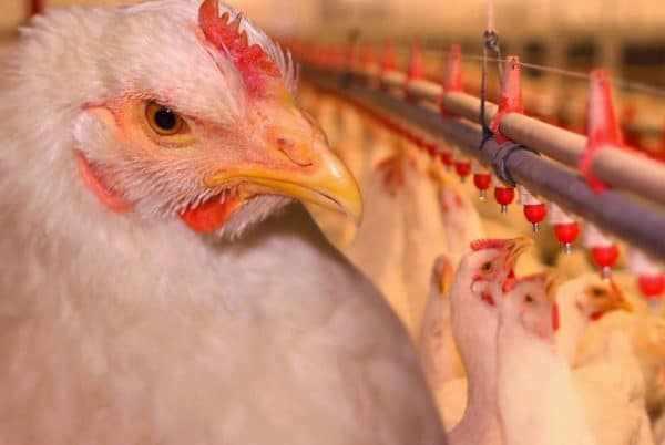 Бройлерные цыплята отличаются слабым иммунитетом