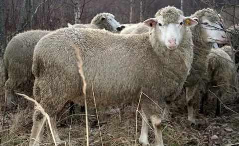 Северо-кавказская порода овец