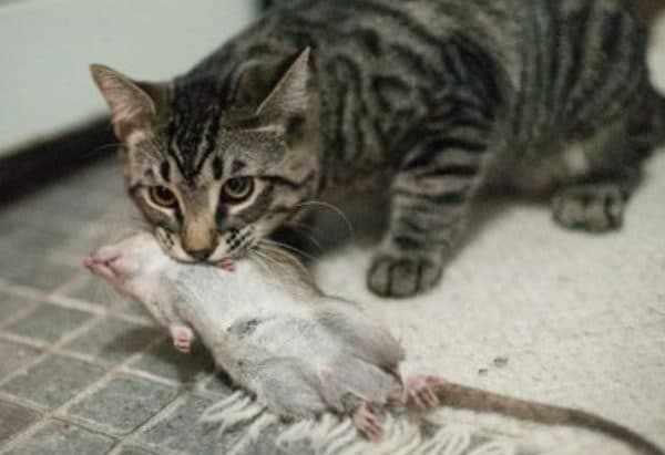 Кошка крысолов