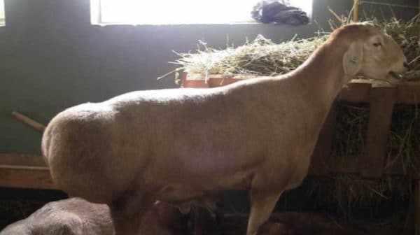 Овцы эдильбаевской породы. Хорошо заметен курдюк в задней части тела