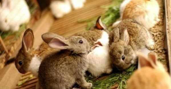 Соликокс применяют для профилактики кокцидиоза у кроликов или лечения