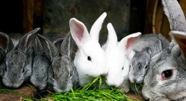 Основным кормом для кроликов считается свежая зелень и сухое сено