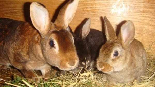 Разведение кроликов – прибыльное занятие, но животным необходим тщательный уход
