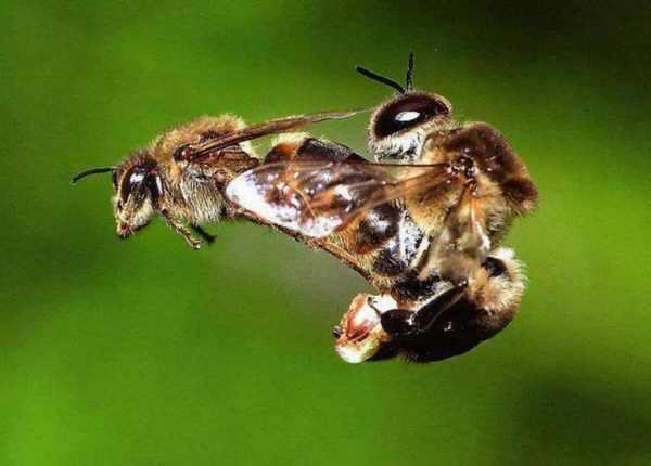 Формы размножения пчел