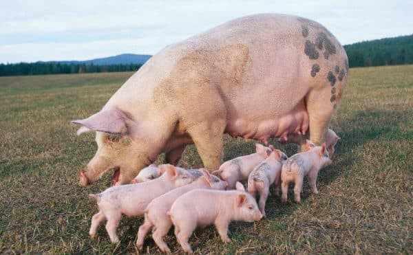 Сколько лет живут свиньи