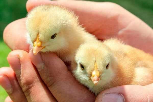 Гибель цыплят – частое явление