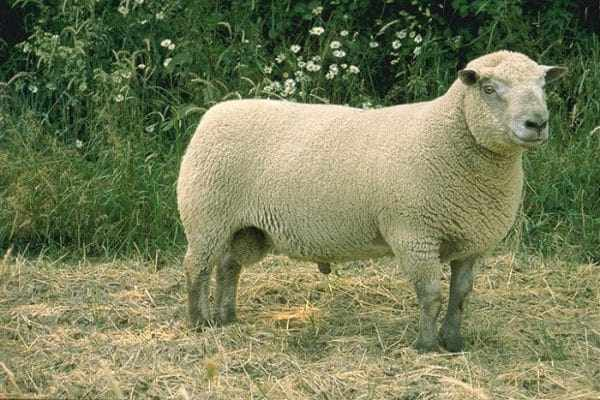 Вандейская порода овец