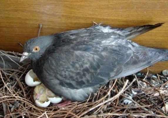 Высиживание и рождение птенцов