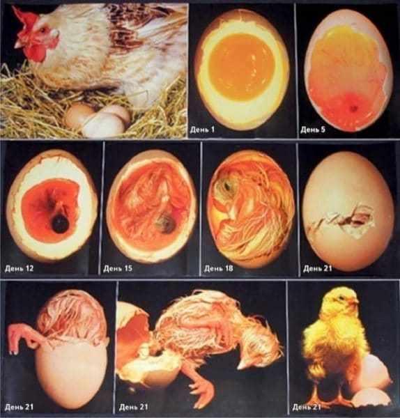 Сколько времени вылупляется цыпленок из яйца?