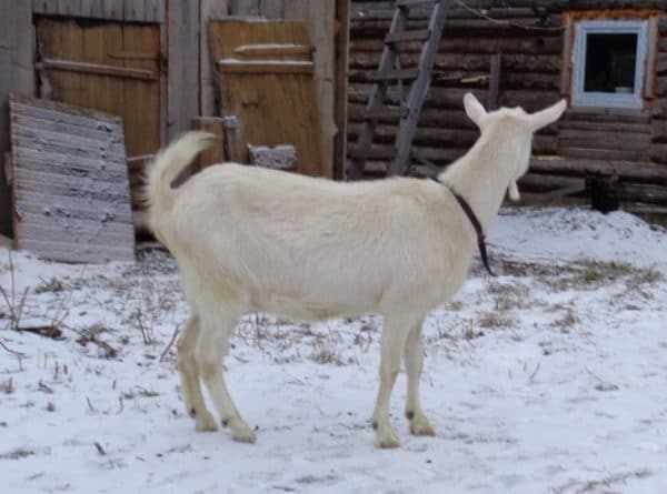 Срок беременности у козы меньше месяца, и изменений пока нет
