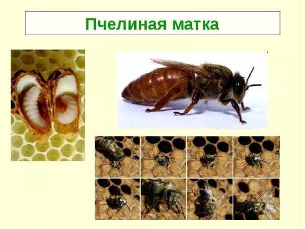 Виды пчеломаток