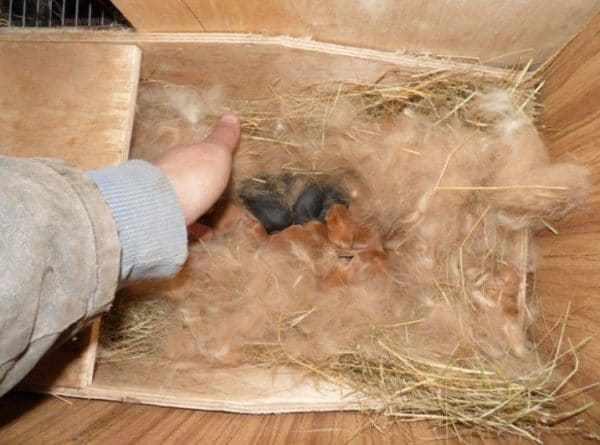 Коробка, ящик как гнездо для крольчат