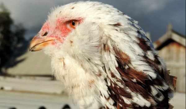 Орловская ситцевая курица