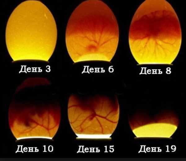 Нет необходимости просвечивать яйца ежедневно